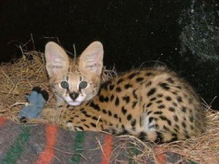..Healthy Bengal Kitten