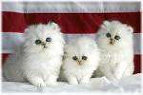...White Teacup Persian Kitten for adoption