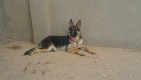 female g s d 5 m for sale