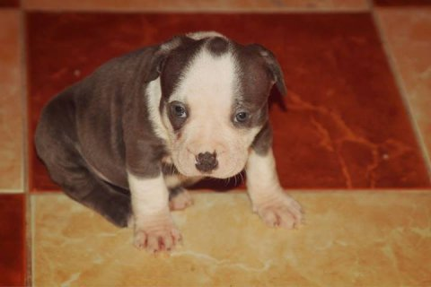 pitt blue for sale now3500