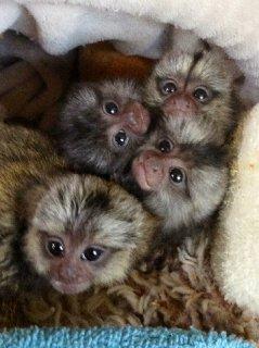 الرضع القشة قرد أميركي القرد