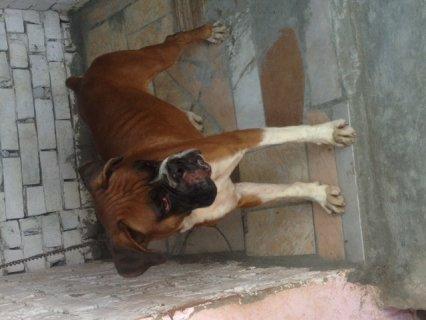للبيع كلب بوكسر موصفات عالمية بسعر مغرى جدا