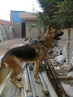 كلب جيرمن بيور مطيع وحارس ممتاز