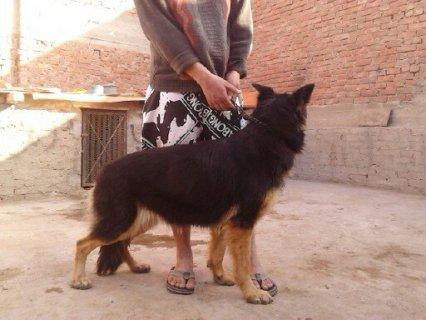 كلبه جيرمان سنه 8 شهور بس حاجه كبيره