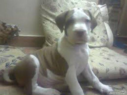 كلب بيتبول جرو