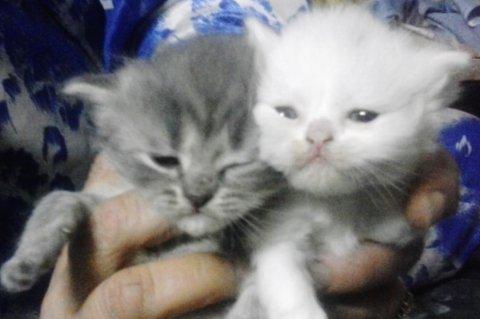 للبيع قطط شيرازي عمر شهر