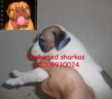 نتايه بوكسر بيضاء 3 شهور 2500 ج 01009930024 محمد شركس