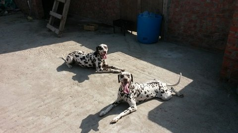للبيع 2 كلب دالميشن روسى ذكر و نتايه وارد روسيا بالاوراق وجوازات