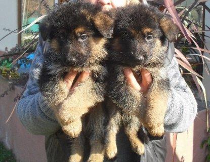 كلاب جيرمن شيبرد