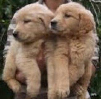 كلاب جولدن لبيع حجم دخم