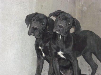 كلاب كين كورسو للبيع  للاستعلام 01122020103