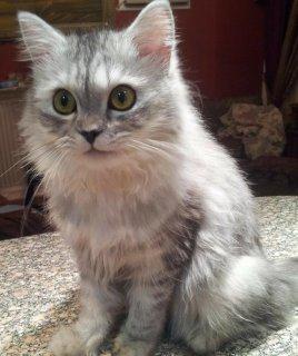 للبيع قطة حامل فى شهر ونصف من قط زورار شوكلت توب