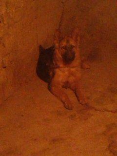 كلبه جيرمان  4 شهور 15 يوم