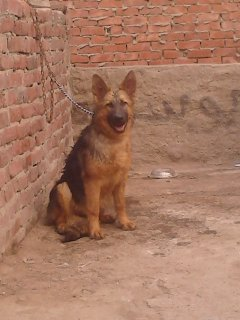 كلبه جيرمان 5 شهور