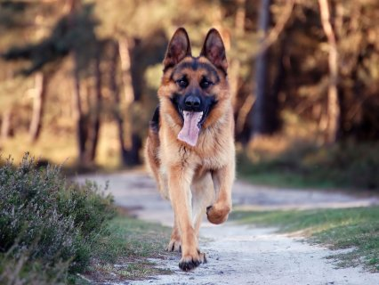 كلب جيرمن شيبرد عمر سنه