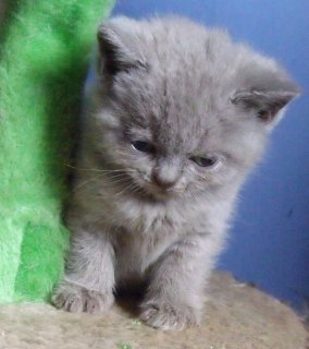 British Blue Shorthair Kittens for sale