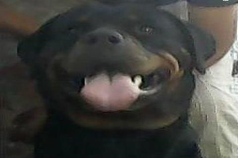 للبيع مجموعة كلاب روت وايلر المانى مستوى عالى