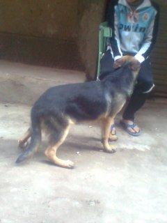 كلب جيرمن خمس شهور ونص
