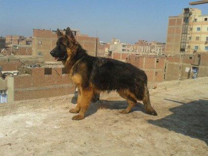 كلب  جيرمن لونج عير الوان حمرة ظهر زيل بيجر