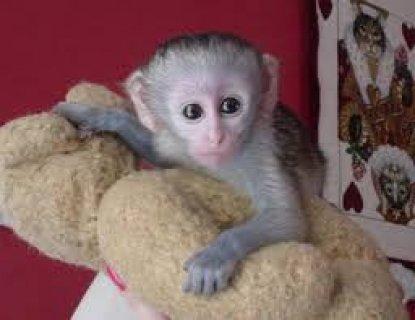 """الذكور و \""""الإناث الكبوشيون القرود\"""" للتبني، الاتصال للحصول على ال"""