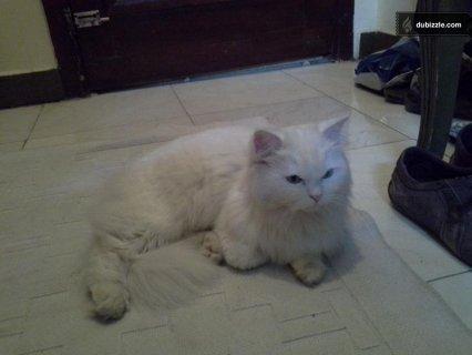 قطة للبيع شيرازى