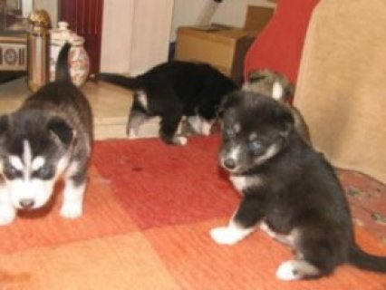 Excellent Siberian husky puppies available