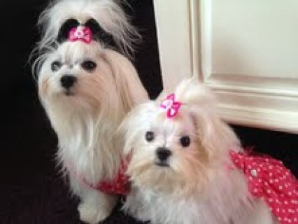 2Maltese Puppies for Adoption