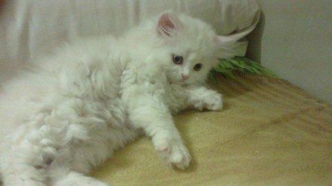 قط بيبى شيرازى