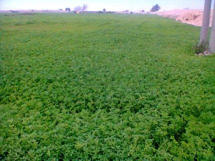 ارض زراعية مساحة 8.5 فدان قرية محمدفريد