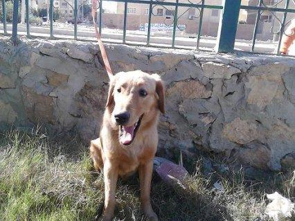 كلب جولدن رتريفر احمر للبيع 9 شهور