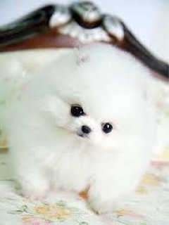 Two Pom puppies for sale.