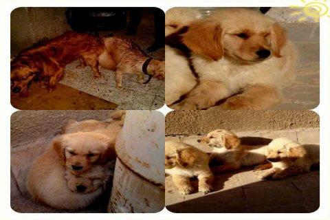 كلاب جولدن لبيع أحجم دخمة
