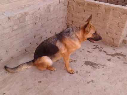 كلبه جيرمان 8 شهور