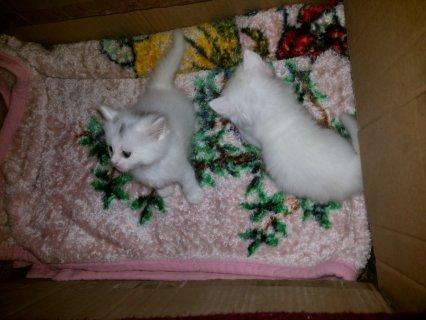 قطط شيرازى مون فيس للبيع