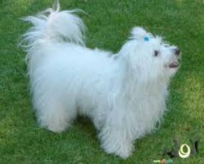 كلب لولو