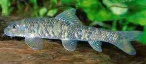 سمك جاراروفا