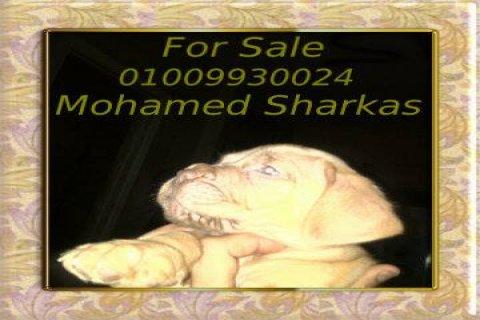 للبيع جراوى فرنش ماستيف اهالى وارد الخارج محمد شركس 01009930024