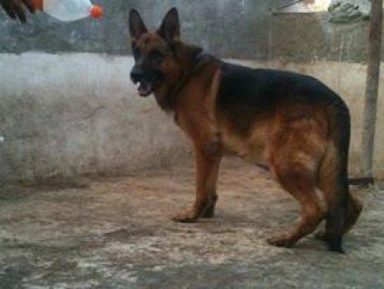 للبيع من اشهر الكلاب الجيرمن فى مصر