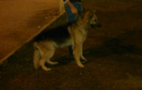 كلب جرمن زكر تقليب عالى شرس جدن و تدريب عالى عندو سته و نصف