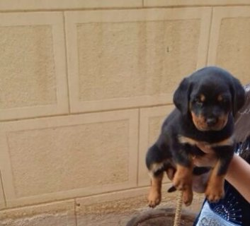 45 days rottweiler puppies for sale