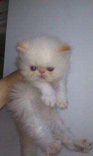 قط هيمالايا اورانج للبيع زورار