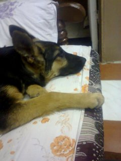 للبيع كلبة جيرمن 4 شهور