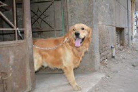 كلب جولدن للجواز