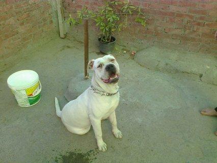 كلب بيتبول بيور ابيض بلاك نوز للبيع للجادين فقط