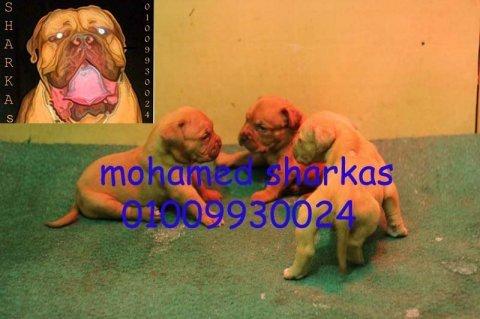 بحمد الله انفراد اجراء فرنش ماستيف للبيع 01009930024محمد شركس