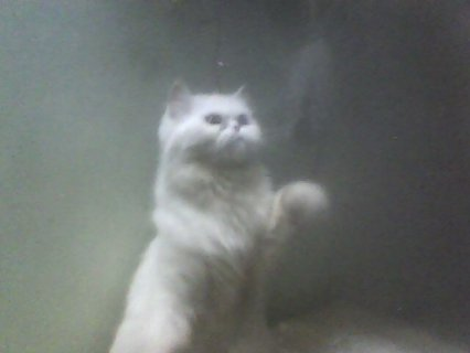 قطه بيكى فيس بيضاء حامل تحفه