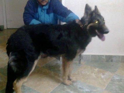 كلب جرمن شيبرت انثى عمر 8شهور