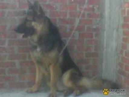 كلب جيرمن مواصفات عليه 5شهور ودبدوب ويوجد جراوى 500 ج بس