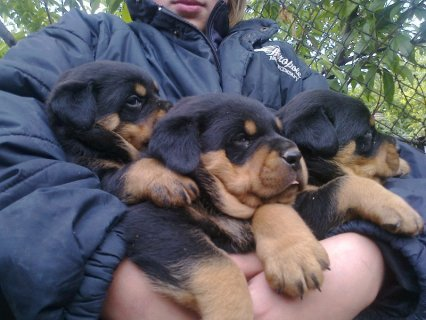Pure Breed Rottweiler Puppies for Sale