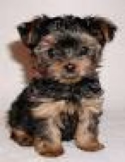 YORKSHIRE TERRIER PUPPIES FOR FREE ADOPTION
